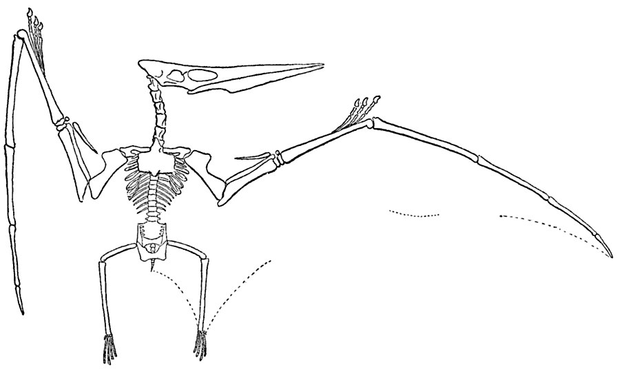 Pterodactyl vs. Pteranodon - What s the difference   747bfd285