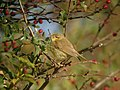 Willow Warbler (Phylloscopus trochilus) - geograph.org.uk - 419143.jpg