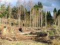 Windblown Plantation, Hoathwaite Beck - geograph.org.uk - 128697.jpg