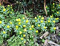Winter aconites - geograph.org.uk - 130775.jpg