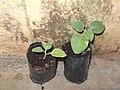 Withania somnifera-1-aruna planta medica-yercaud-salem-India.JPG