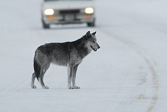 Lamar River - A black and gray female wolf on the roadway near the Lamar River bridge