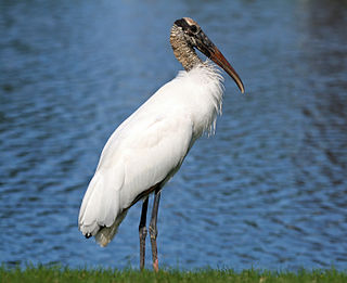 Wood stork wading bird found in the Americas