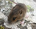Wood Mouse (Apodemus sylvaticus) - geograph.org.uk - 967205.jpg