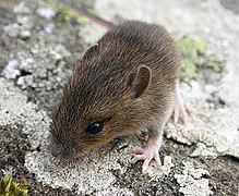 Wood Mouse (Apodemus sylvaticus) - geograph.org.uk - 967205.jpg