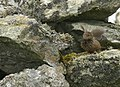 Wren (Troglodytes troglodytes) at Uyeasound - geograph.org.uk - 853856.jpg