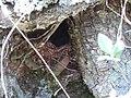 Wren (Troglodytes troglodytes) nest in beech tree, Coilsholm Wood, Failford. South Ayrshire, Scotland.jpg