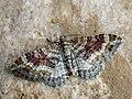 Xanthorhoe spadicearia - Red twin-spot carpet - Ларенция коричневая (40918346022).jpg