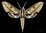 Xylophanes meridanus MHNT CUT 2010 0 49 Parque Nacional Henri Pitter (Rancho Grande), Venezuela dorsal.jpg