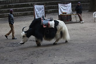 Hidimba Devi Temple - A yak near the Hadimba temple, Manali, Himachal Pradesh