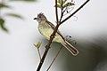 Yellow-bellied Elaenia (*Elaenia flavogaster) (5771816687).jpg
