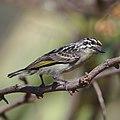 Yellow-fronted tinkerbird, Pogoniulus chrysoconus, at Rust de Winter Dam, South Africa. (45364883314).jpg