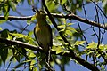 Yellow-throated Vireo Sabine Woods High Island TX 2018-04-26 12-33-34 (40283853360).jpg