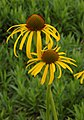 Yellow Coneflower Echinacea paradoxa Twisted Pair DoF 2000px.jpg