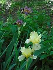 Yellow Irises (Kazan).JPG
