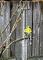 Yellow bird (5595630906).jpg