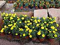 Yellow buddy flower.jpg