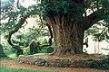 Yew Tree - geograph.org.uk - 787460.jpg