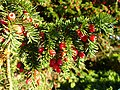 Yew berries - geograph.org.uk - 272624.jpg