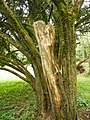 Yew trunk Florence court.jpg