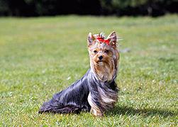 32c8b48d99b Yorkshire Terrier-AP-1DBZN3-590lc121913.jpg