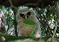 Young African Wood Owl - owlet (Strix woodfordii).jpg