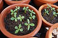 Young adenium seedlings.jpg