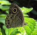 Ypthima baldus – Common Five-ring 02.JPG
