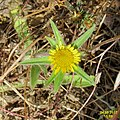 Zakynthos flora (35914063705).jpg