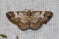 Zamarada cf. metallicata (Geometridae- Ennominae) (26599461844).jpg