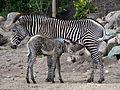 Zebra jong in Dierenpark Amersfoort, photo 2.JPG