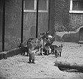 Zes zwarte pups in Artis geboren Moeder wolf met de zes kleintjes, Bestanddeelnr 915-2805.jpg