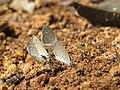 Zizula hylax Fabricius, 1775 – Tiny Grass Blue at Aralam Wildlife Sanctuary Jan 2016 (2).jpg