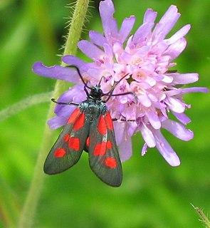 <i>Zygaena viciae</i> Species of moth