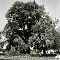 """""""Lipn?k"""" (drevo) pred hišo, preko 200 let star, Straža 1961.jpg"""