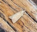 (1292) Calamotropha paludella (19582601788).jpg