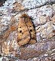 (2120) Ingrailed Clay (Diarsia mendica) (34579816550).jpg
