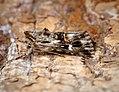 (2223) Toadflax Brocade (Calophasia lunula) (35941498204).jpg