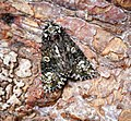 (2291) The Coronet (Craniophora ligustri) (34941757603).jpg