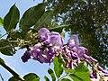 (MAD ) W. sinensis-2.jpg