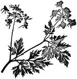 Æthusa, Nordisk familjebok.png