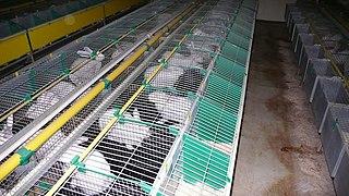 Plusieurs rangées de cages basses avec chacune un lapin blanc et un compartiment pour le nid
