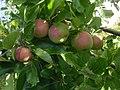 Čistecké lahůdkové jablko.jpg