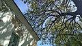 Віти дубу черещатого над шкільним дахом.jpg