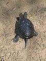 Европейская болотная черепаха.13.jpg