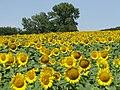 Жълто и синьо - panoramio (7).jpg