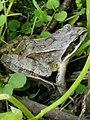 Земляная лягушка. Улыбнись миру.jpg