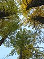 Лиственницы - panoramio (3).jpg