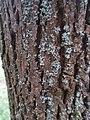 Неизвестный лишайник на дереве в Севастопольском парке Минска 02.jpg