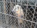 Носуха (Penza Zoo 2016).jpg